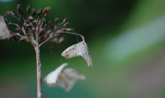 枯れた紫陽花の花