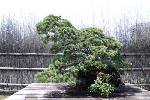 盆栽美術館の盆栽