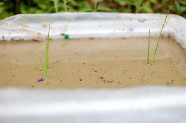 魚沼ゆうきの苗で、バケツ稲