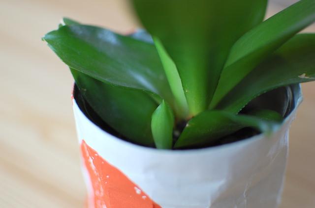 サンスベリアの芽