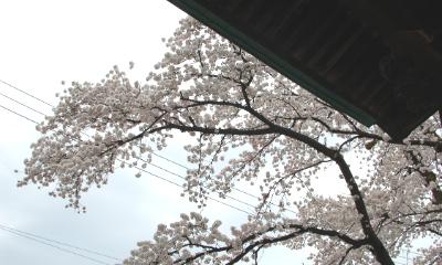 十日町市智泉寺の桜が満開