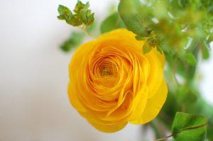 黄色のラナンキュラス