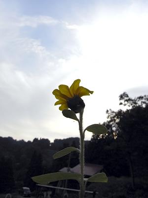 今ごろ、向日葵