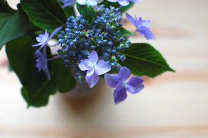 紫陽花とどくだみ