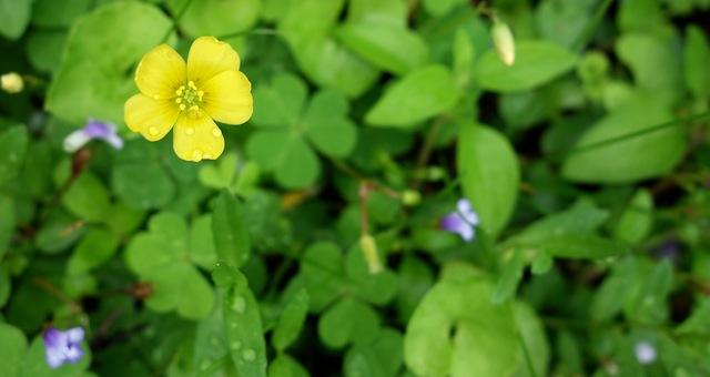 田んぼの周りの花