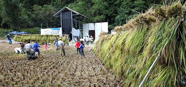 魚沼ゆうきの田んぼで稲刈り体験