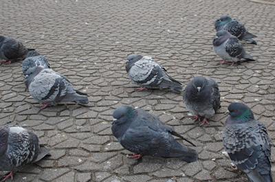 長野駅前の鳩たち
