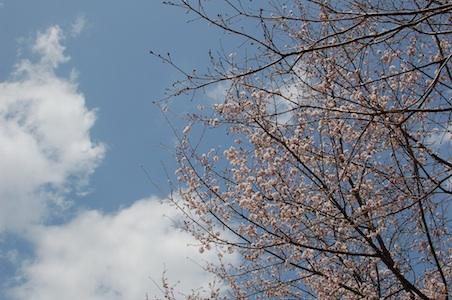 境内アート小布施会場の桜