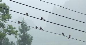 雨の中、電線に止まるツバメたち