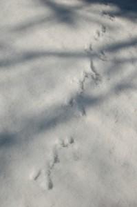 しみわたりに、ウサギの足跡