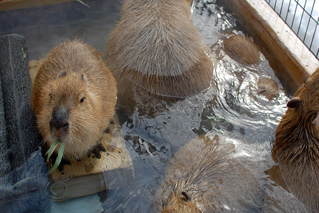 須坂市動物園のカピバラ
