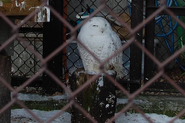 須坂市動物園のシロフクロウ