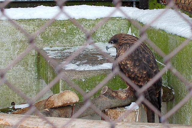 須坂市動物園のトビ