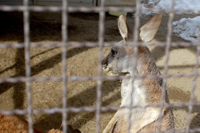 須坂市動物園のアカカンガルー