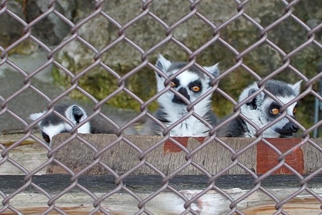 須坂市動物園のワオキツネザル