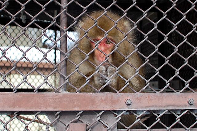 須坂市動物園のニホンザル