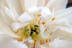 芍薬の花に蟻