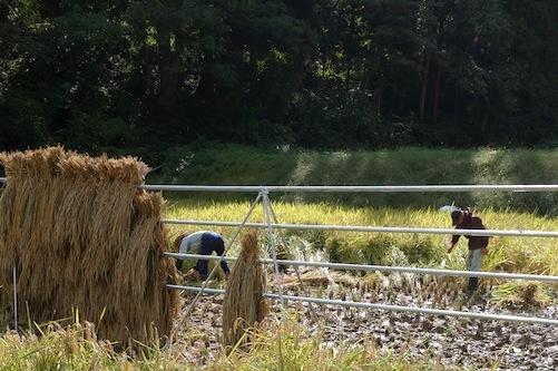 ハサ掛け米の収穫体験ツアー