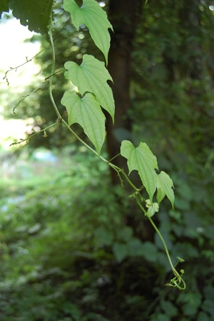山の蔓の葉