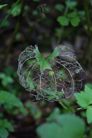 山の植物 虫食いの葉