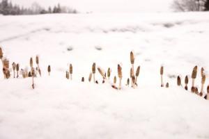 雪に埋まった土筆