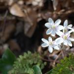 春の花、雪割草